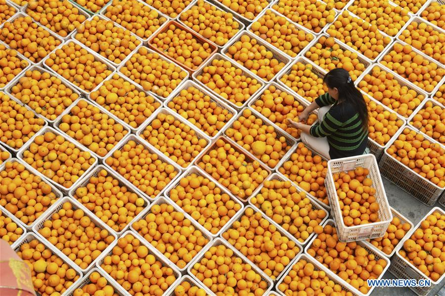 #CHINA-HUBEI-YICHANG-NAVEL ORANGE (CN)
