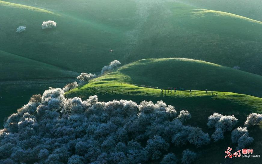 新疆新源:万亩野杏花迎来观赏季