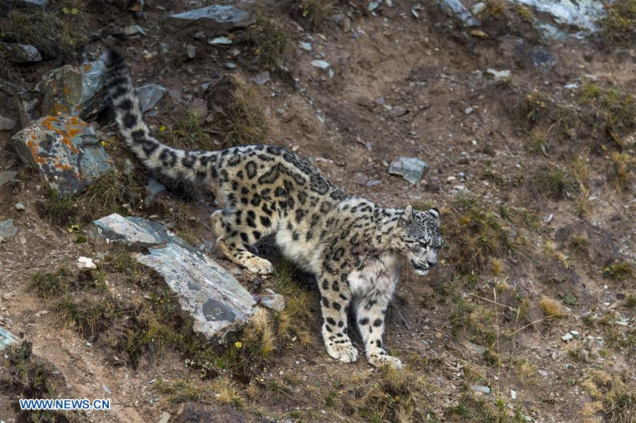 CHINA-SNOW LEOPARD-PROTECTION(CN)