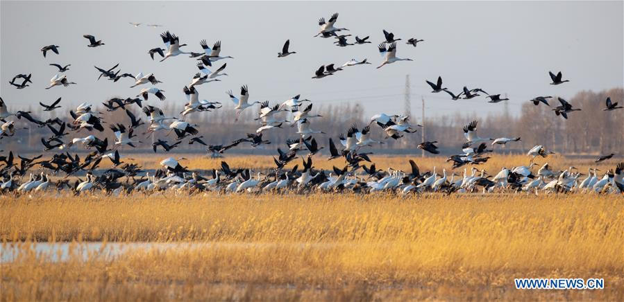 CHINA-JILIN-NATURE RESERVE-MIGRANT BIRDS (CN)