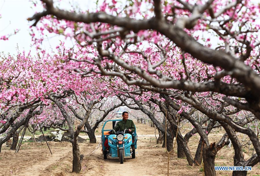 CHINA-HEBEI-SHENZHOU-PEACH BLOSSOMS (CN)