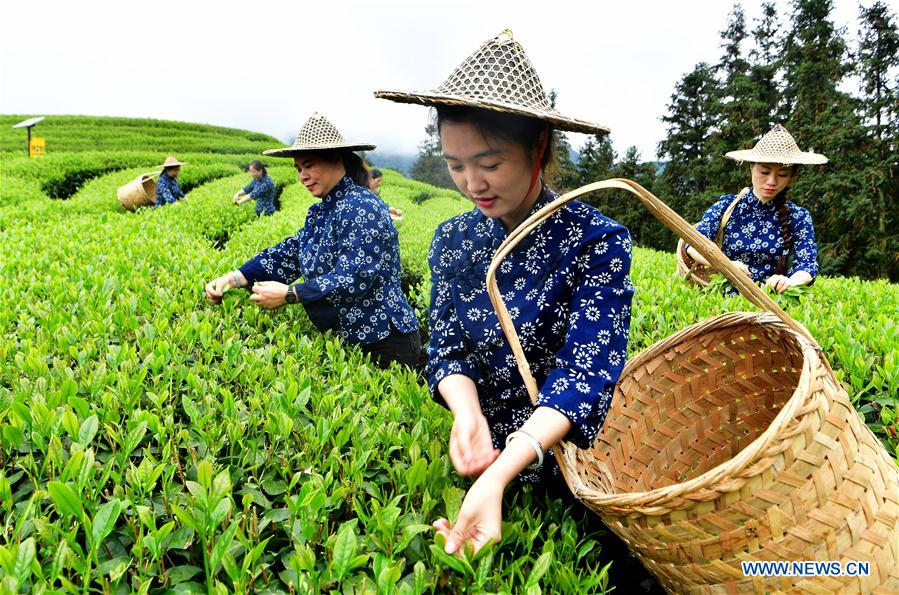CHINA-FUJIAN-WUYISHAN-TEA GARDEN (CN)