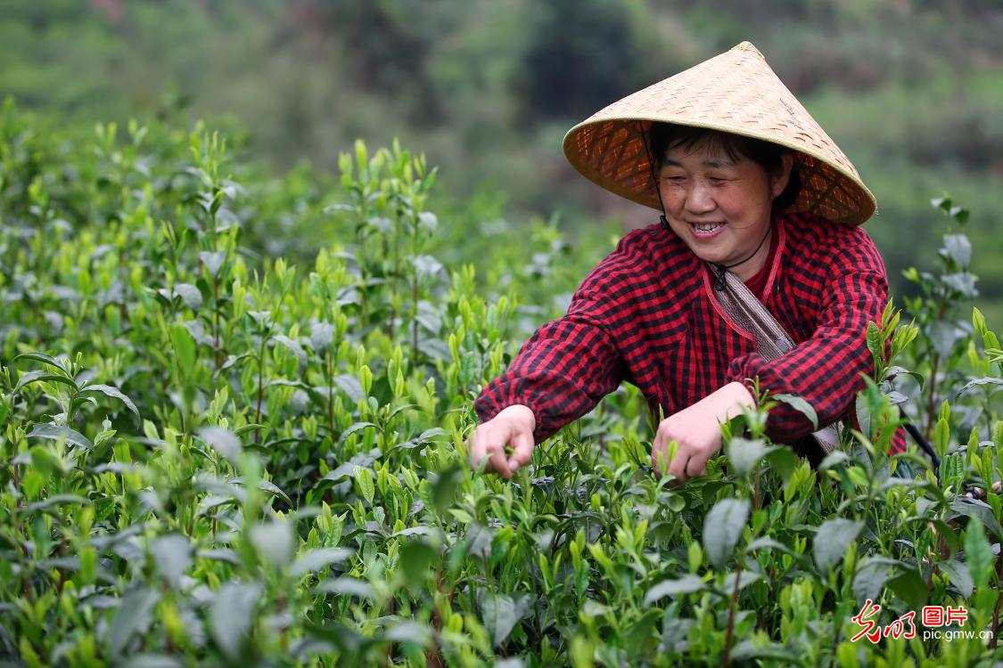 Taiping Houkui tea production in east China's Anhui