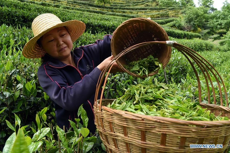 CHINA-GANSU-TEA GARDEN-FARM WORK (CN)