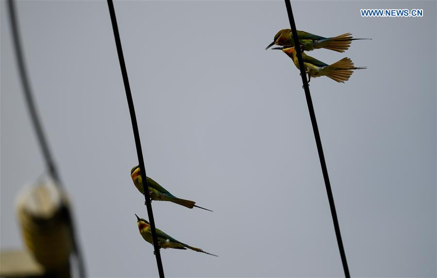 CHINA-HAIKOU-BLUE-TAILED BEE EATERS (CN)