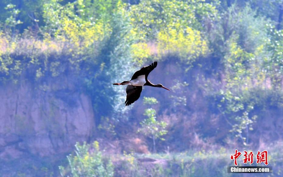 Black storks seen in N China's Shanxi Province