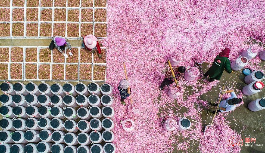 万亩玫瑰开出三产扶贫花