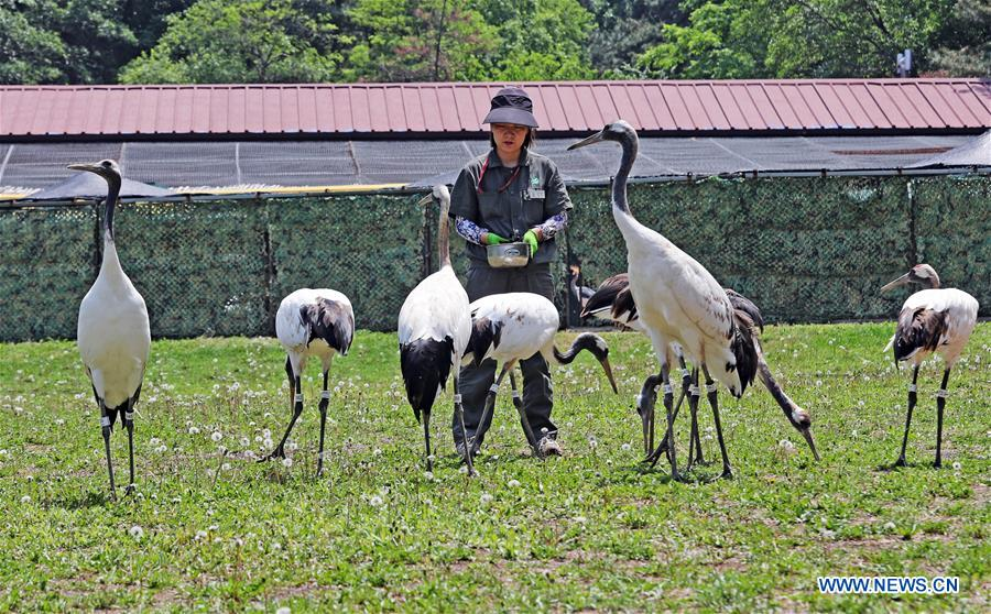 CHINA-SHENYANG-FOREST ZOOLOGICAL GARDEN-RED-CROWNED CRANES (CN)
