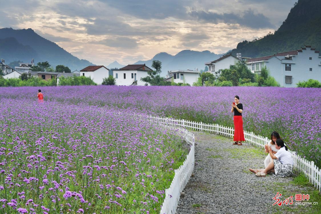 In pics: Verbena flowers in SE China's Zhejiang