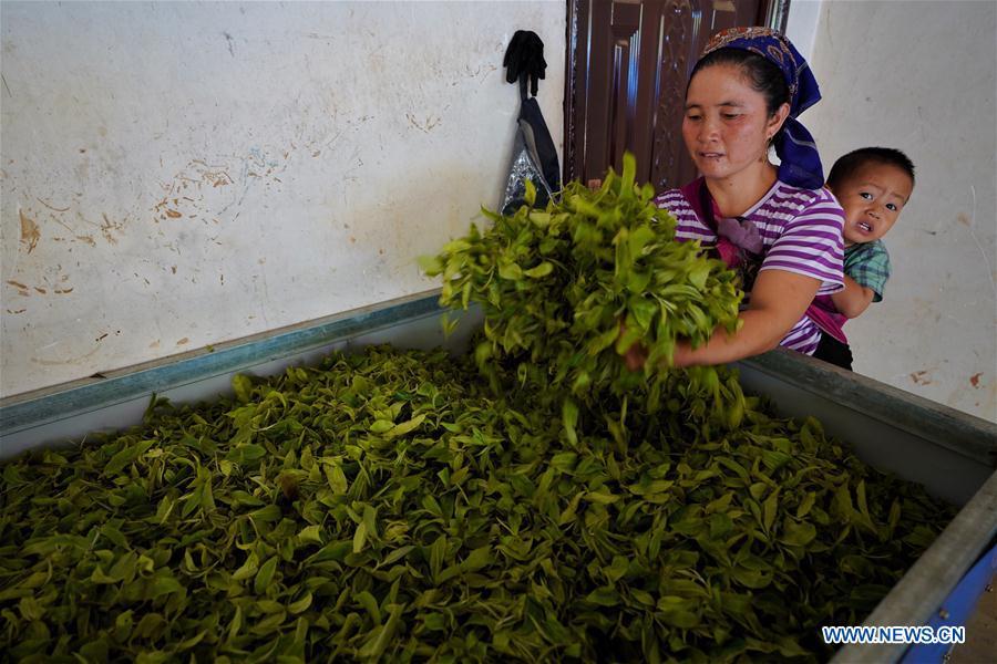 CHINA-YUNNAN-BULANG MOUNTAIN-TEA INDUSTRY (CN)