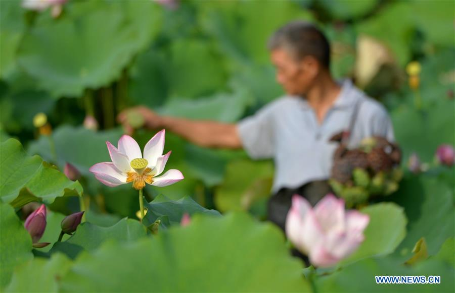 CHINA-HEBEI-LOTUS-SEEDPOD (CN)