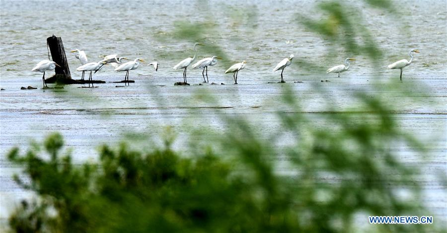CHINA-CHIAYI-EGRETS (CN)