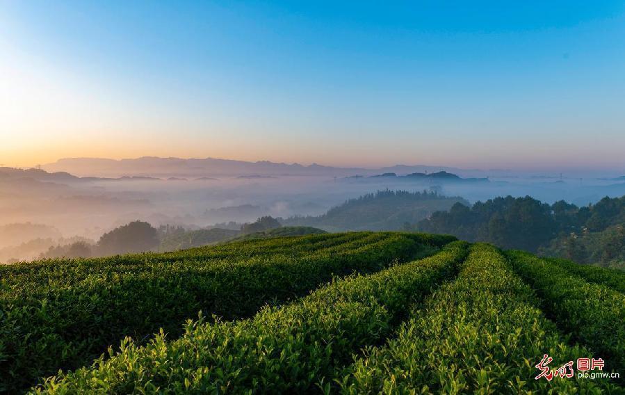 Beautiful scenery of a tea garden in southwest China's Chongqing