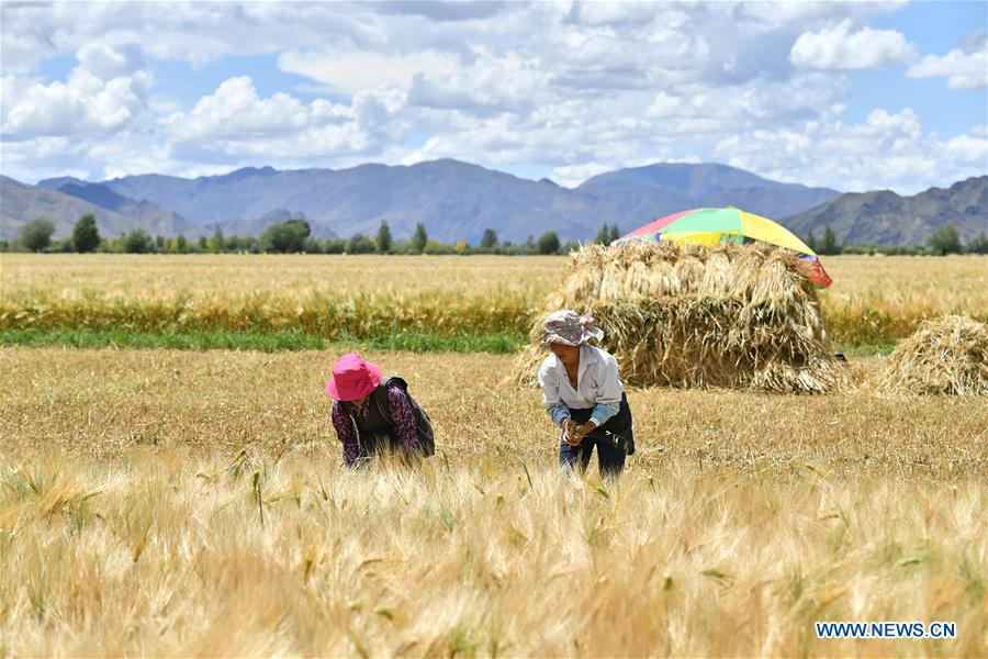 CHINA-TIBET-XIGAZE-HIGHLAND BARLEY-HARVEST (CN)