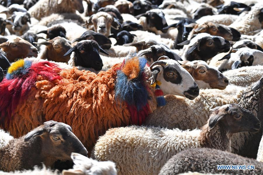 (InTibet)CHINA-TIBET-XIGAZE-SHEEP SHOW (CN)