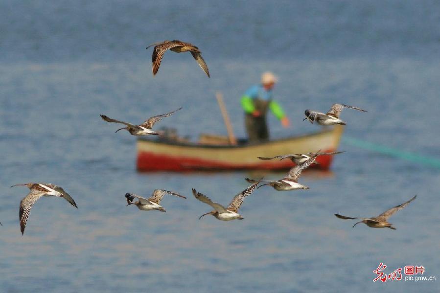 Migratory birds seen in Qingdao, E China's Shandong