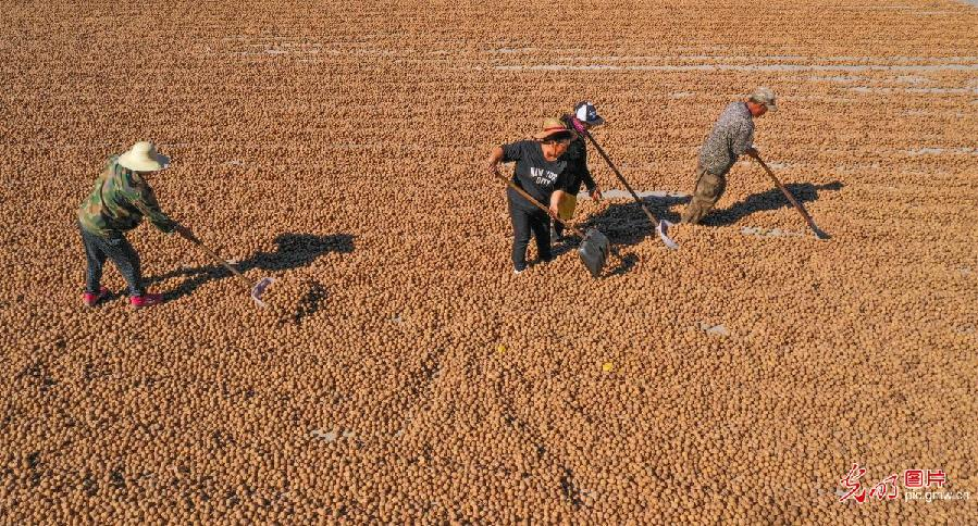 Walnuts harvested in Zunhua, N China's Hebei