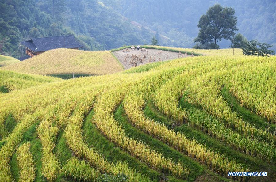 CHINA-GUIZHOU-RONGJIANG-RICE-HARVEST (CN)