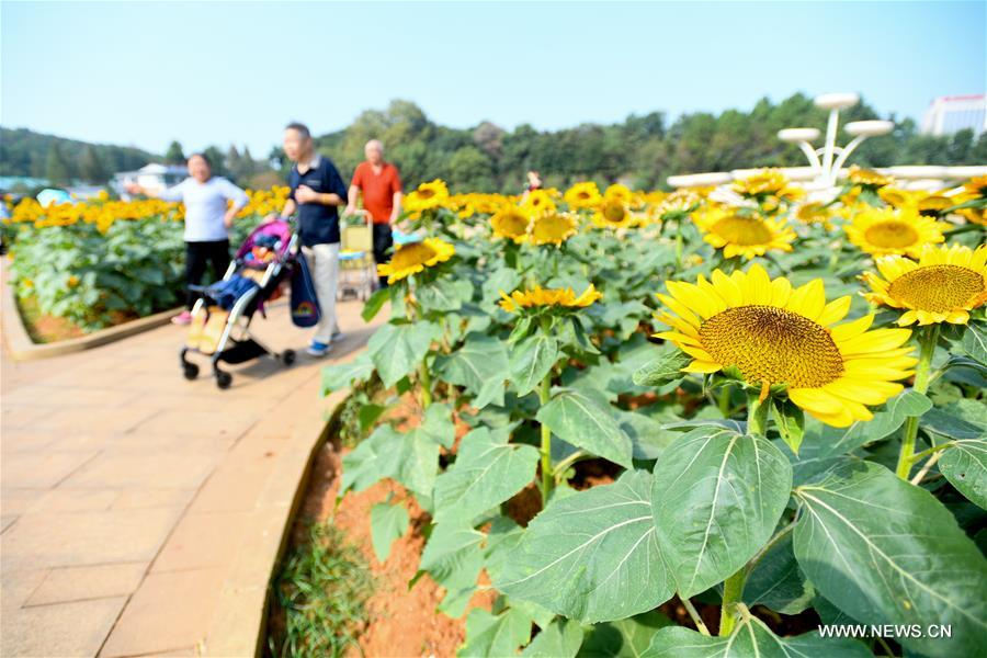 CHINA-HUNAN-CHANGSHA-SUNFLOWER (CN)