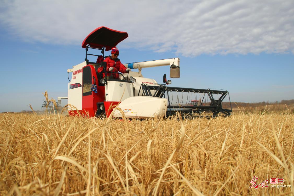 Harvest season of paddy rice starts in NE China's Heilongjiang