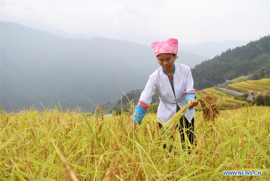 CHINA-GUANGXI-RICE-HARVEST (CN)