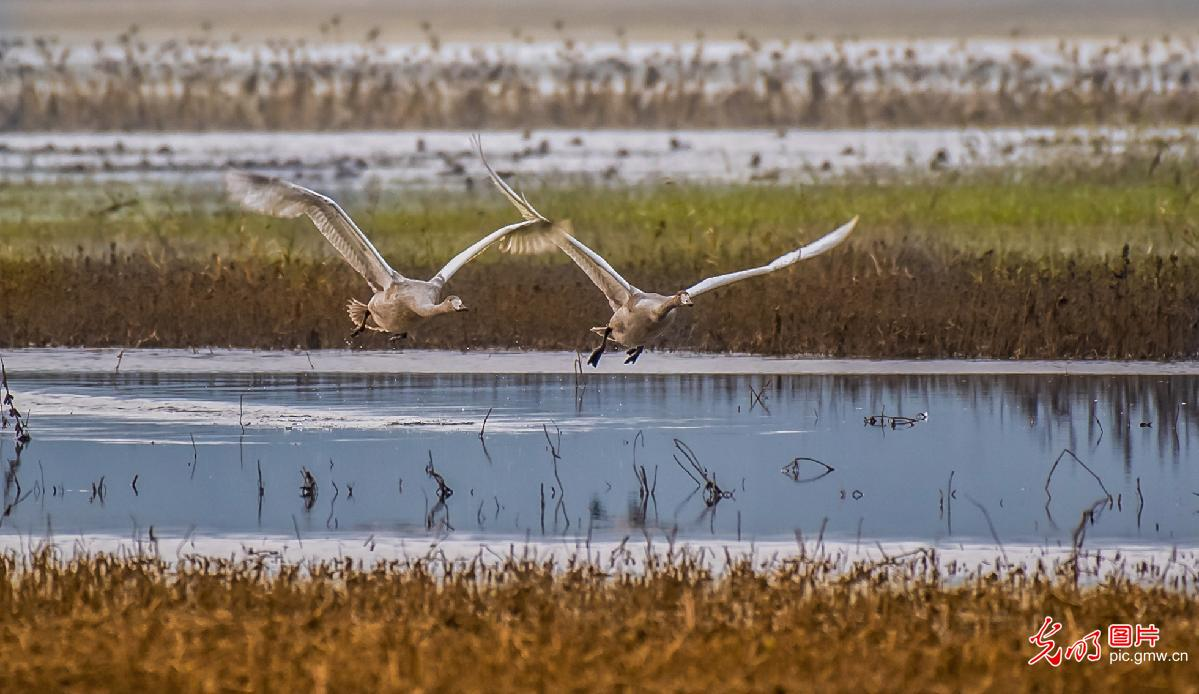 Swans seen in Yellow River wetland in north China's Shanxi