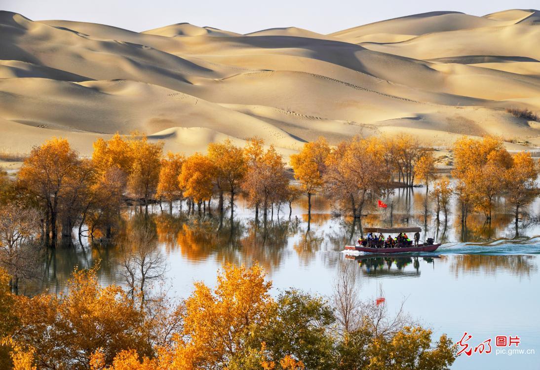 Beautiful scenery of populus euphratica in NW China's Xinjiang