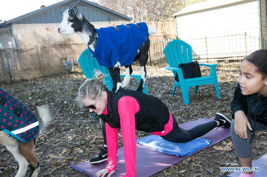 U.S.-TEXAS-DALLAS-YOGA-GOAT