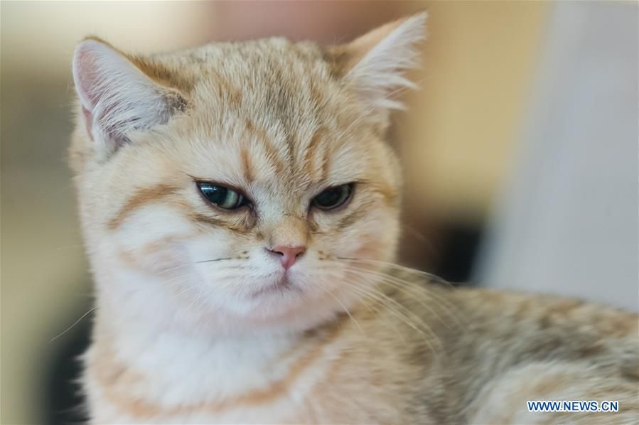 Int'l cat show held in Budapest, Hungary