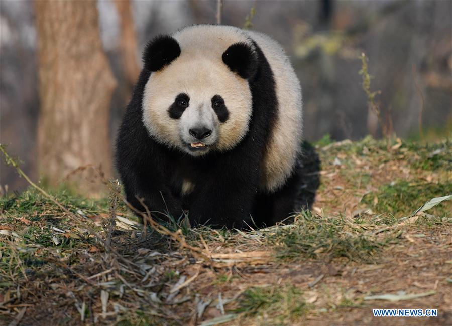 CHINA-XI'AN-QINLING-GIANT PANDA (CN)