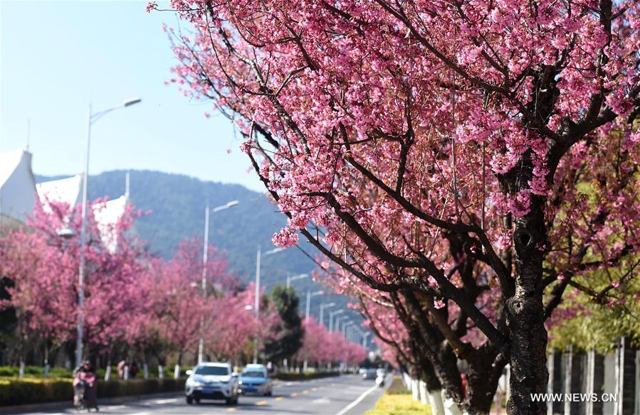 CHINA-YUNNAN-KUNMING-CHERRY BLOSSOM (CN)