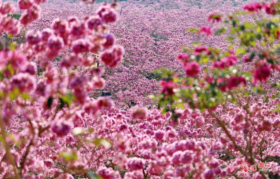 In pics: pink trumpet flowers in Jiangmen, S China's Guangdong