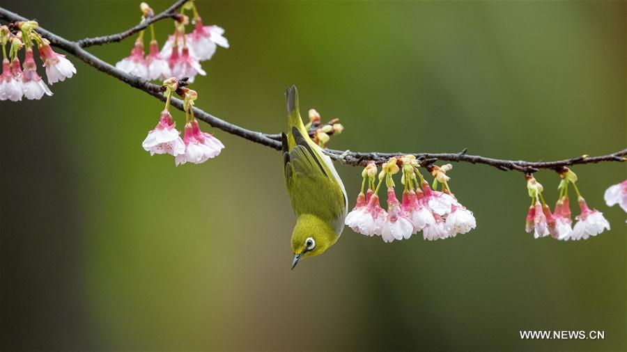 CHINA-FUJIAN-FUZHOU-WHITE-EYE-BIRD (CN)