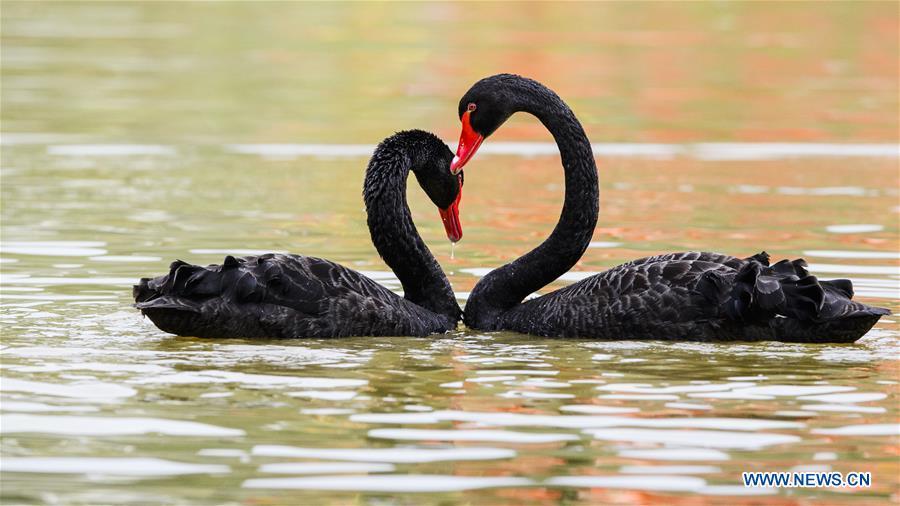 In pics: black swans in Niugangshan Park of Fuzhou