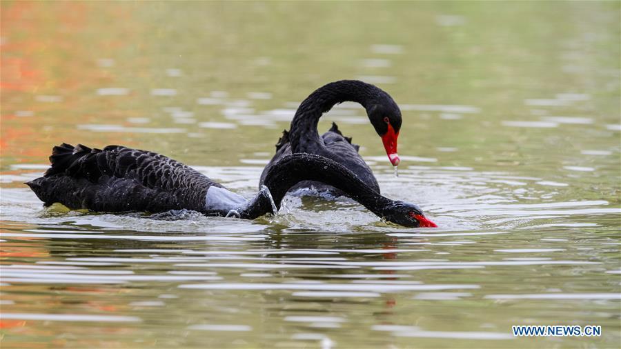 CHINA-FUJIAN-FUZHOU-BLACK SWAN (CN)