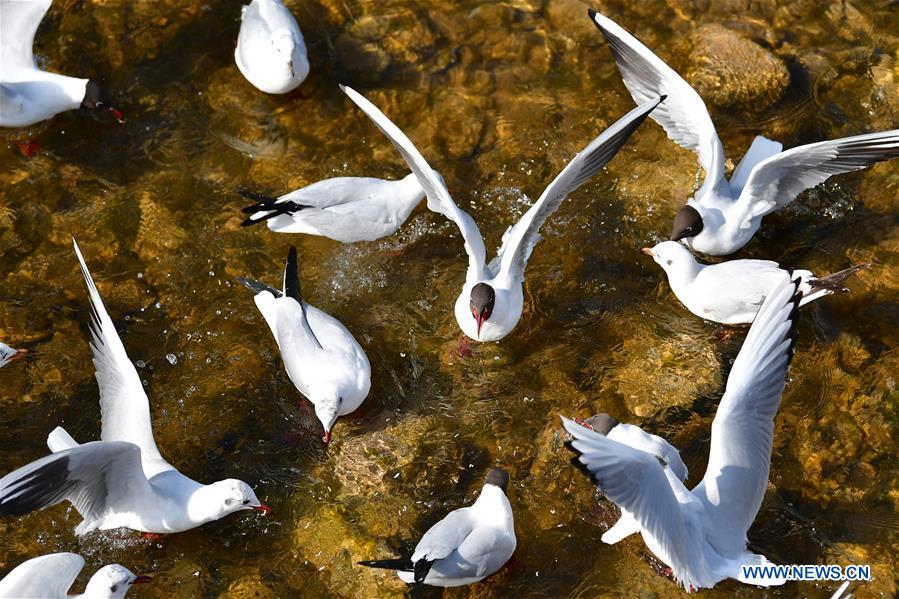 In pics: birds rest in Yellow River in Yongjing, Gansu