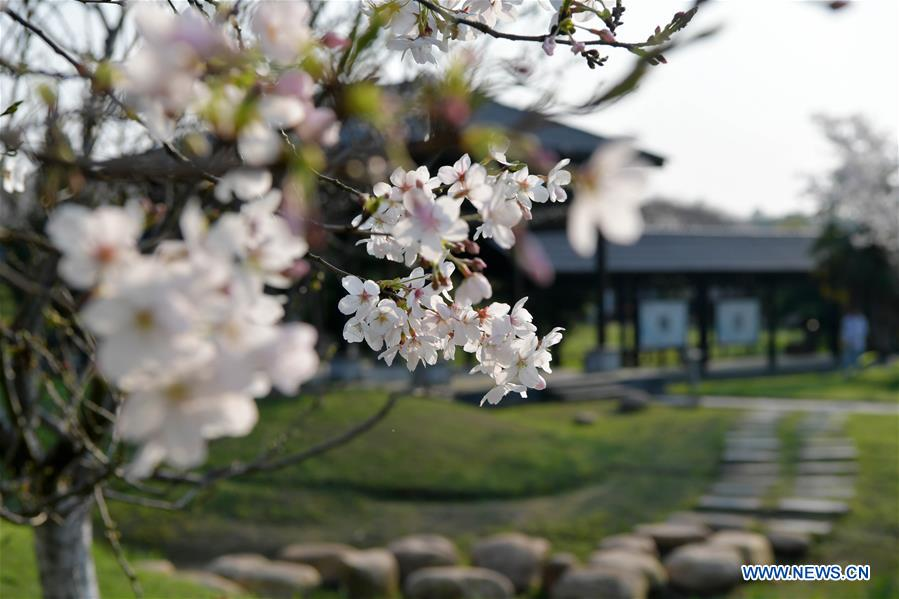 CHINA-JIANGXI-NANCHANG-CHERRY BLOSSOM (CN)
