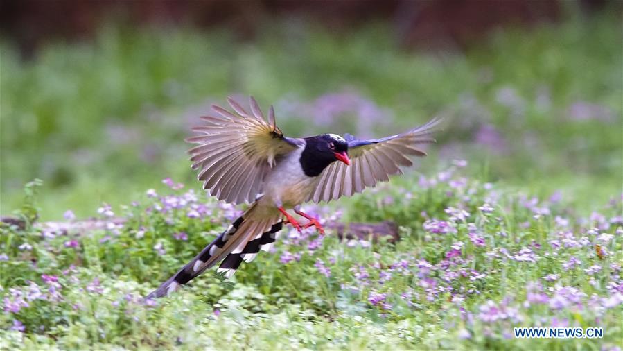 CHINA-SPRING-BIRDS (CN)