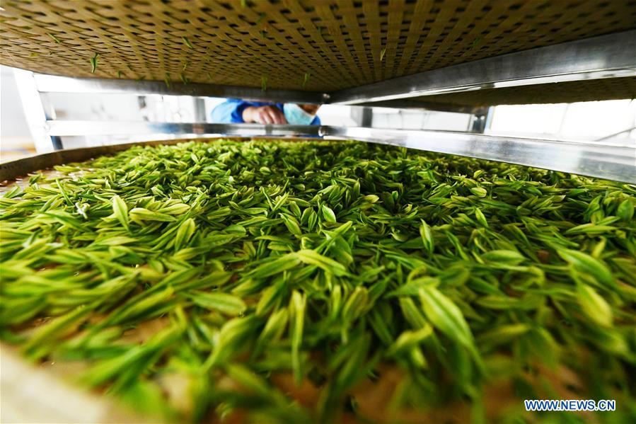 CHINA-GUIZHOU-GUIYANG-TEA-HARVEST (CN)