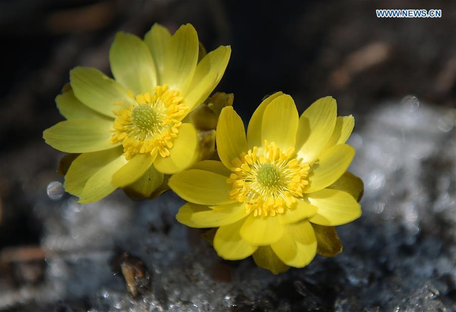 CHINA-JILIN-CHANGCHUN-SPRING-FLOWERS (CN)