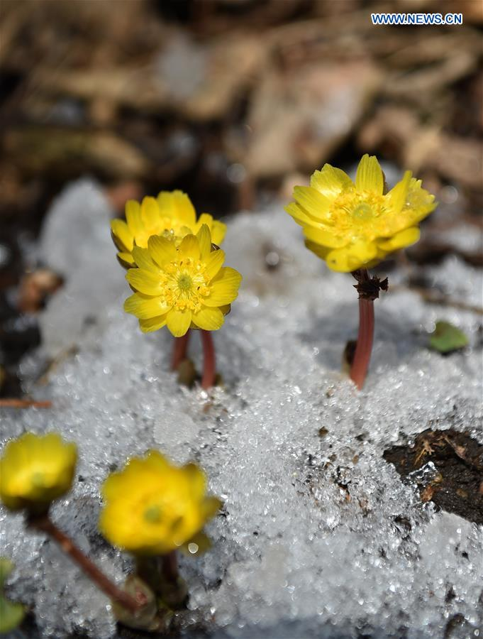 CHINA-JILIN-CHANGCHUN-SPRING-FLOWERS (CN)