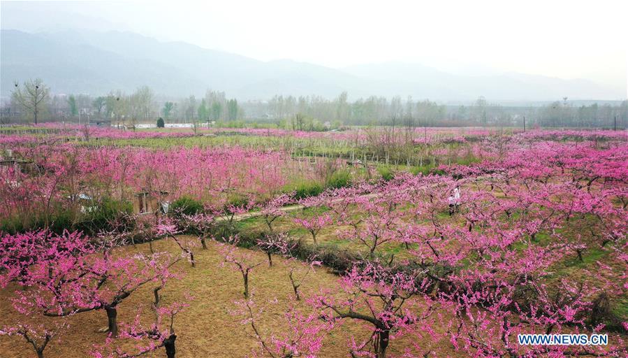 CHINA-SHAANXI-XI'AN-SPRING-PEACH BLOSSOMS