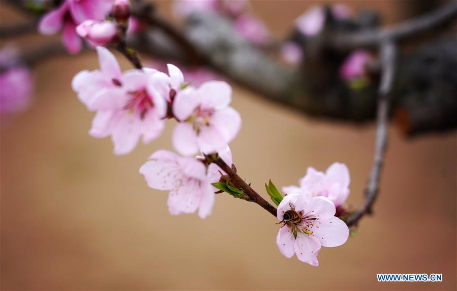 CHINA-SHAANXI-XI'AN-SPRING-PEACH BLOSSOMS