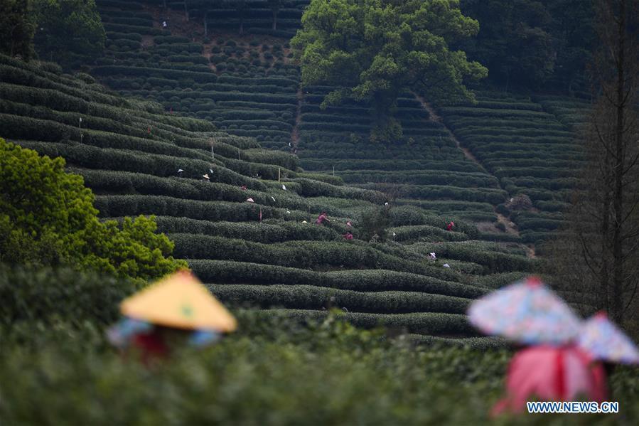 Farmers busy harvesting West Lake Longjing tea leaves in Hangzhou
