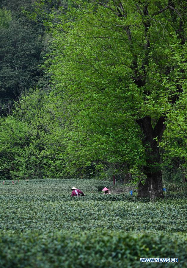 CHINA-HANGZHOU-WEST LAKE LONGJING TEA-HARVEST (CN)