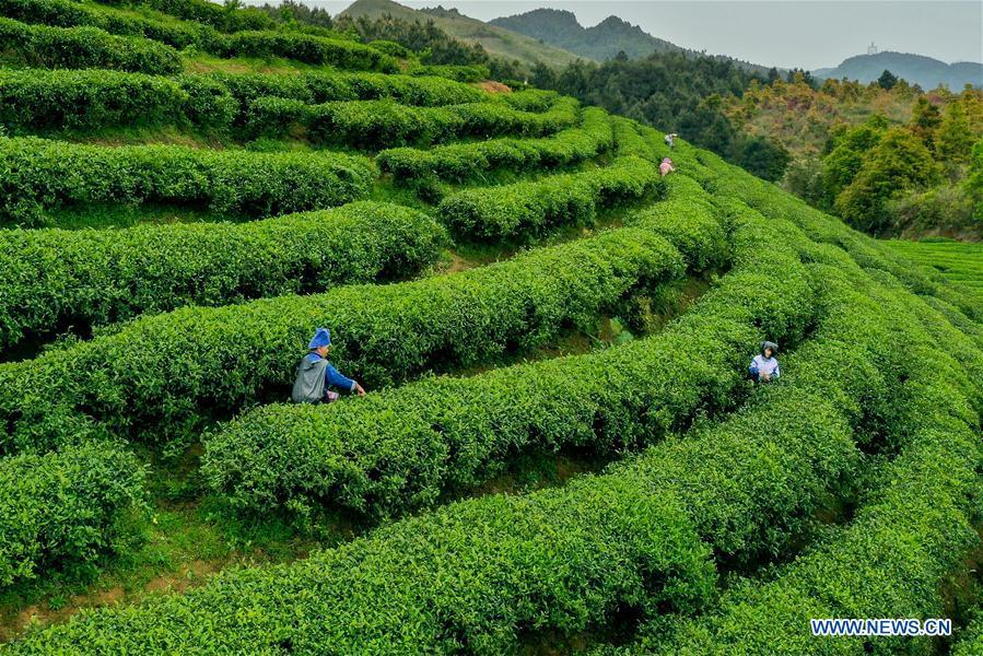 CHINA-GUIZHOU-TEA GARDEN-POVERTY ALLEVIATION (CN)