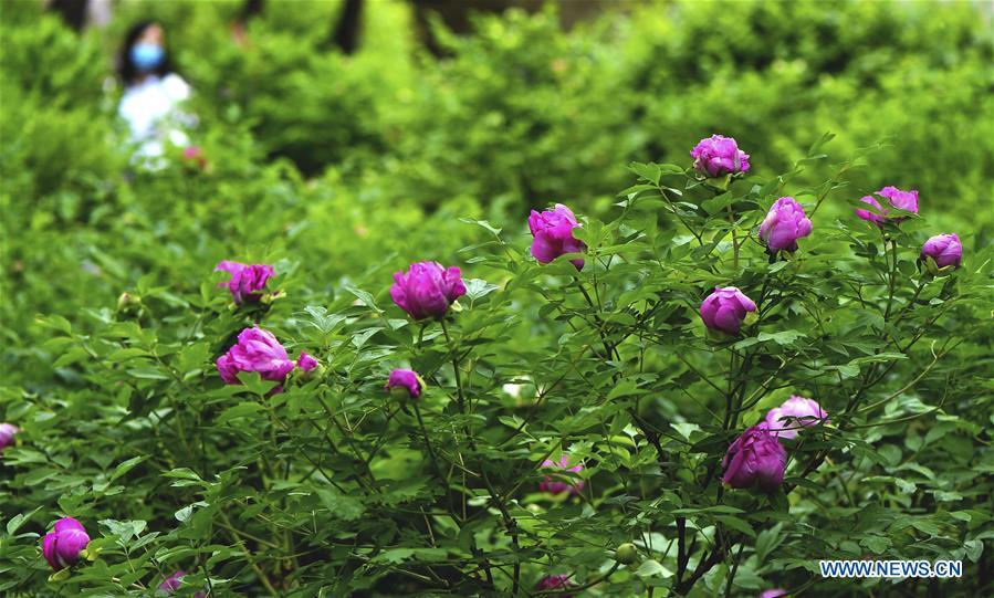 Peony flowers in full bloom at garden in Changchun