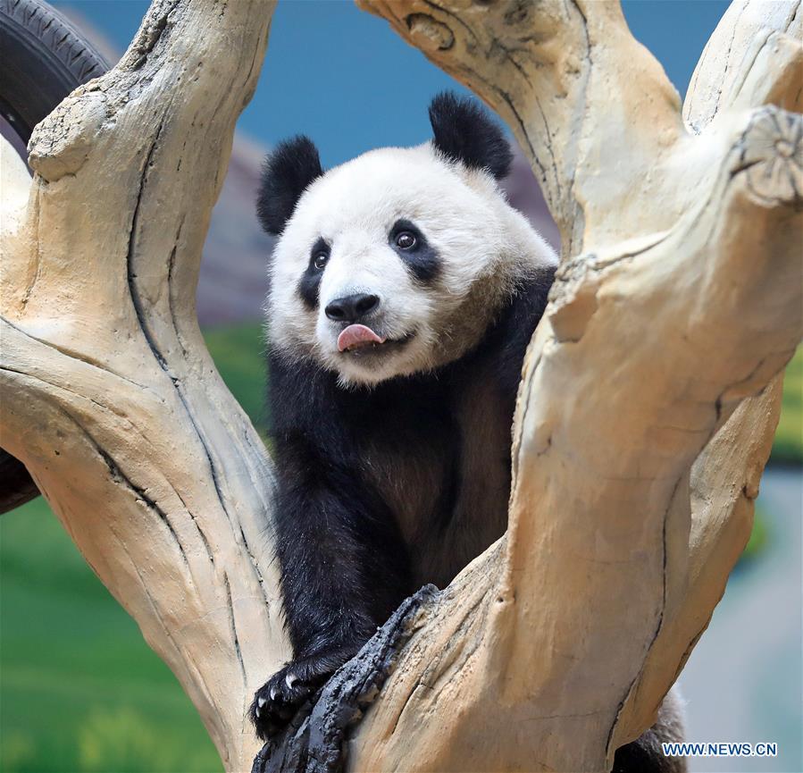 CHINA-LIAONING-ANSHAN-GIANT PANDA-NEW HOME (CN)