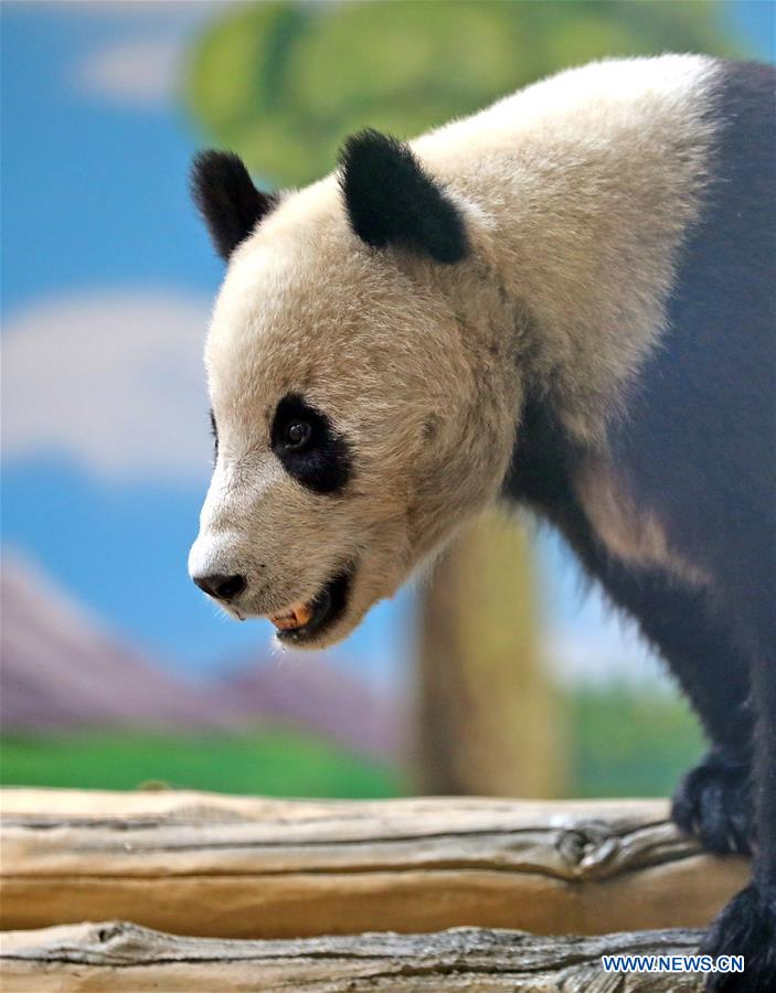 CHINA-LIAONING-ANSHAN-GIANT PANDA-NEW HOME (CN)