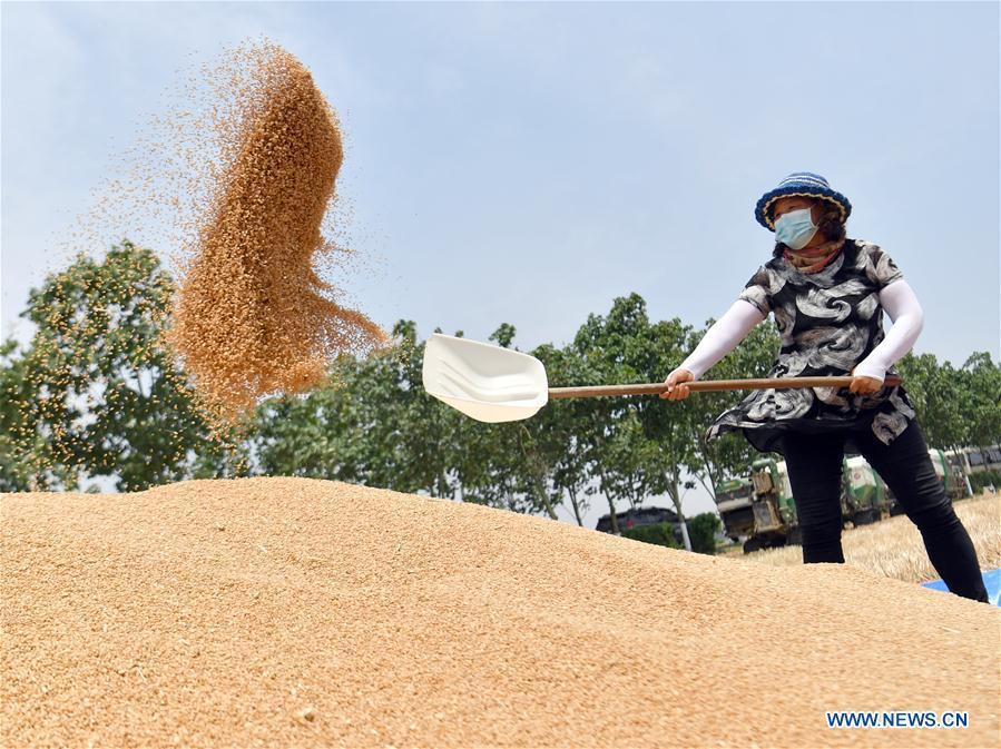 Farmers busy harvesting wheat in Henan
